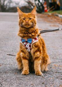 Gato con petral chaleco. arnés para gatos