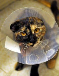Gato con collar isabelino de plástico