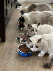Gatos comiendo comida húmeda