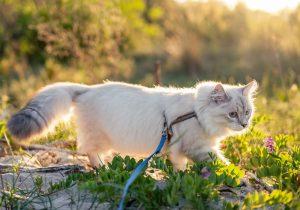 Gato con arnés de paseo