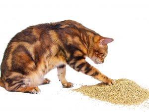 Gato con arena aglomerante