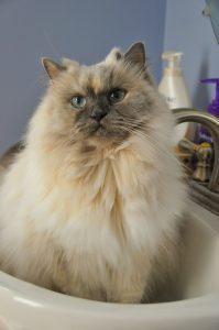 Lindo gato en el lavabo para el baño