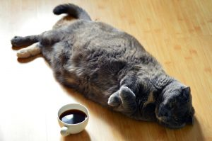 Gato esterilizado gordo obeso