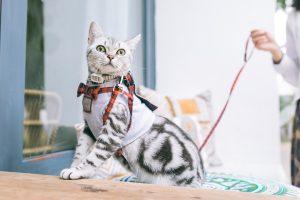 Gato con arnés para pasear